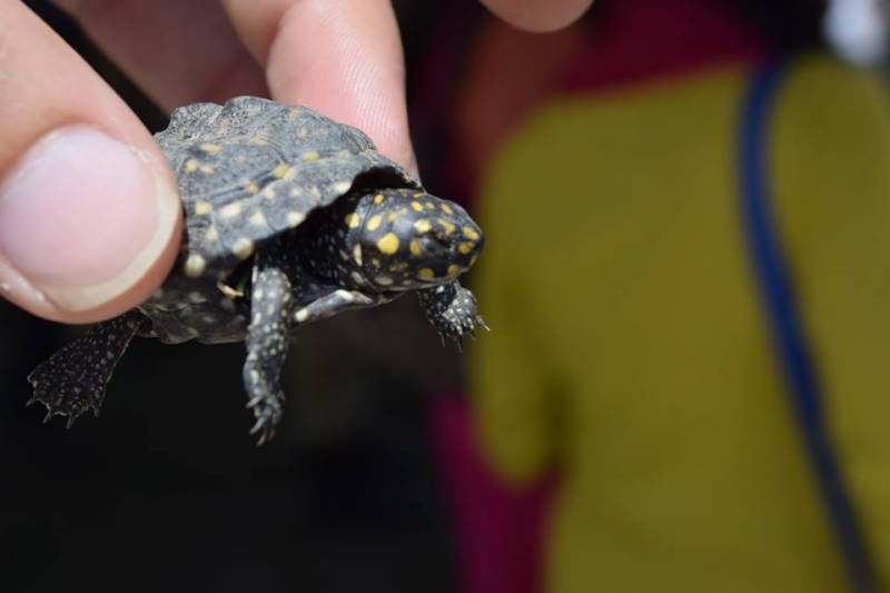 WWF-Pakistan release 171 confiscated black-spotted turtles