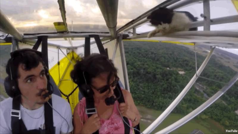 Cat jumps onto moving glider flight