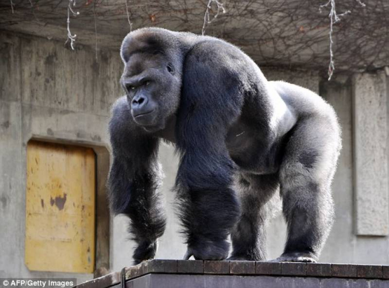 This 'gorgeous gorilla' is driving Japanese girls crazy!