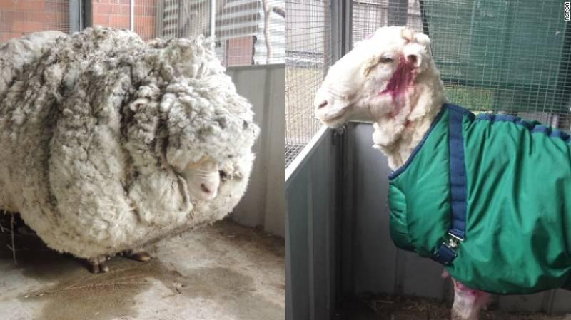 Meet Chris - the world's woolliest sheep