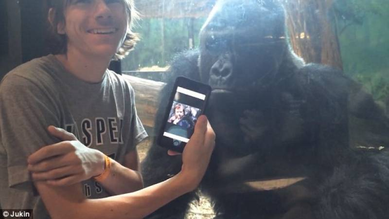 Gorilla loves photos! Gestures man to scroll to next picture