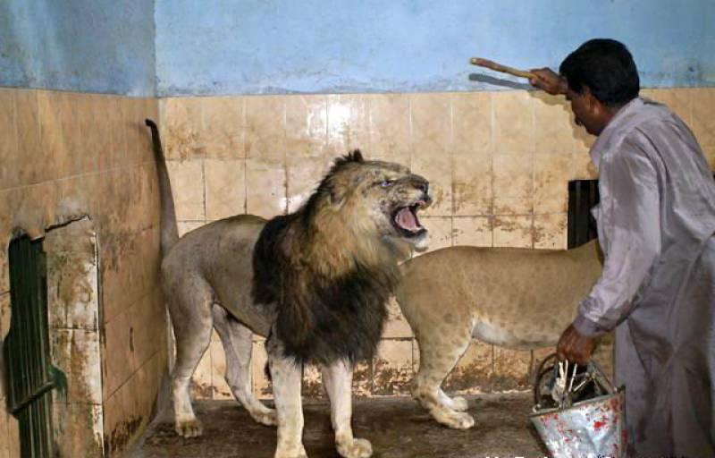 Man survives lion attack in Bahawalpur zoo