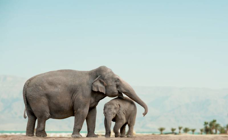 Why elephants rarely get cancer?