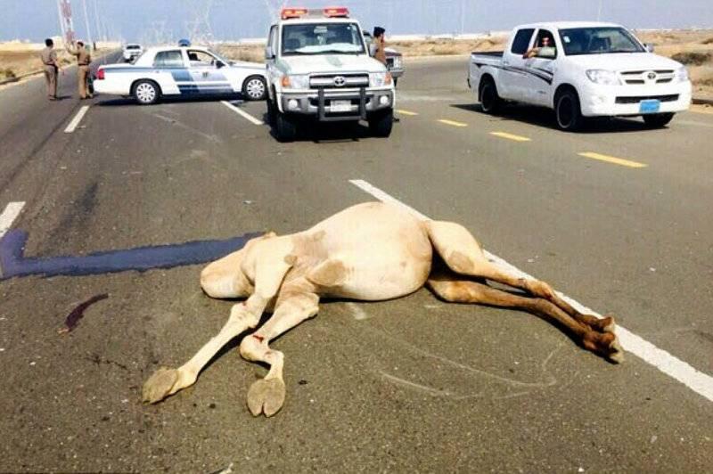 Saudi driver beaten up after killing racing camel worth 1 million Riyals