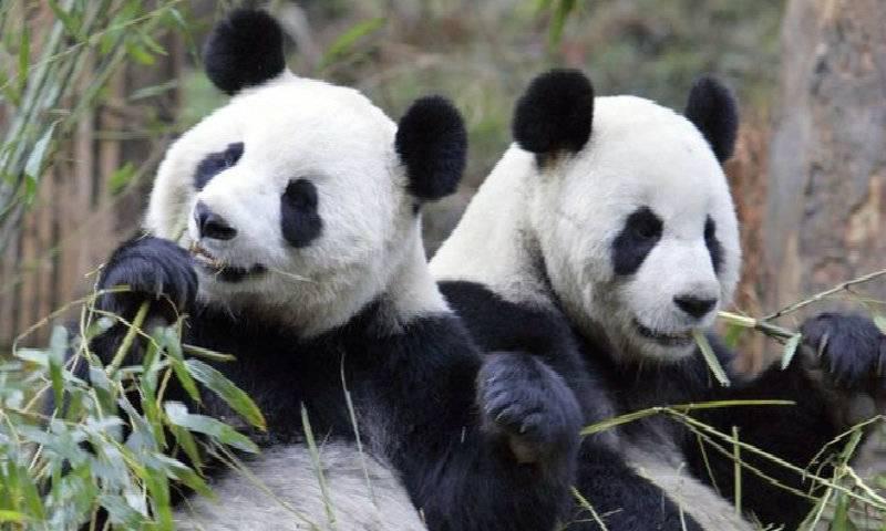 Chinese scientists decode panda 'language'