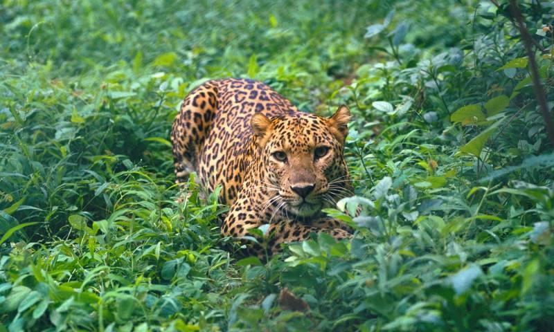 Leopard kills 10 years boy in Abbotabad