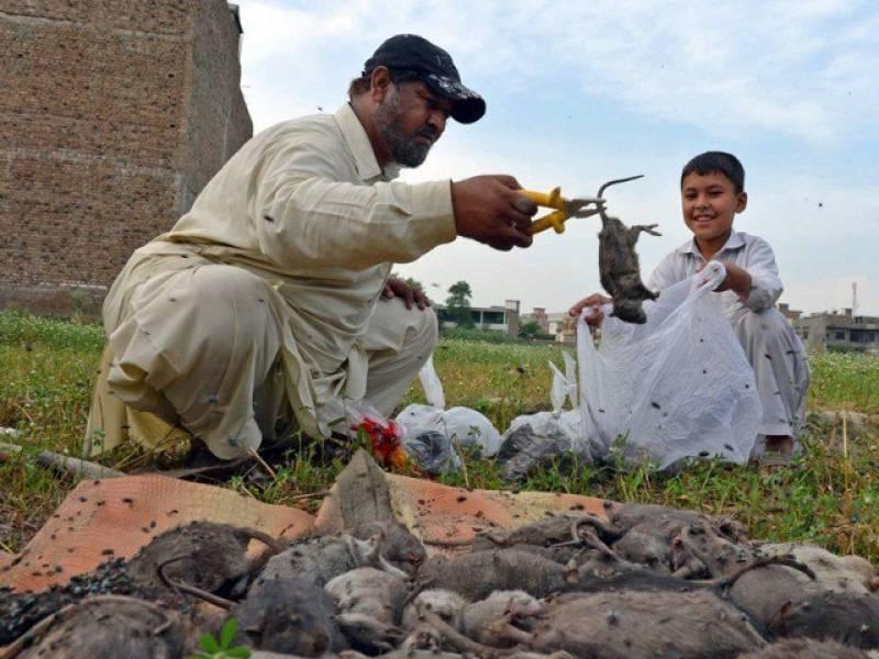 Rs25 'head money' for killing each RAT in Peshawar