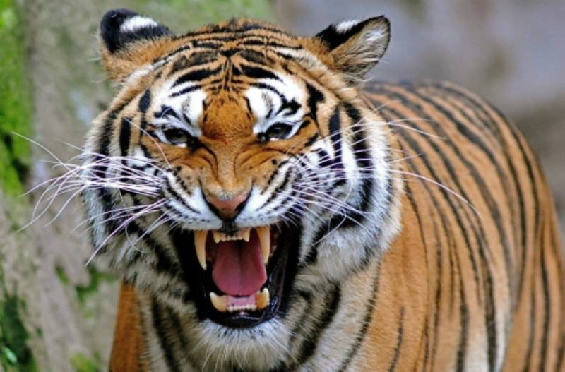 16 tigers died in India within 12 months