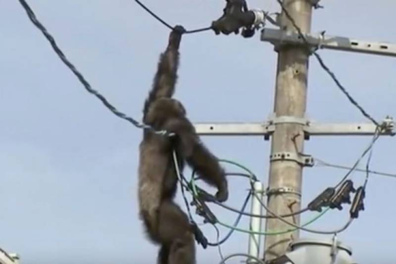 Chimpanzee escapes from zoo, caught after dramatic fall from electricity pole
