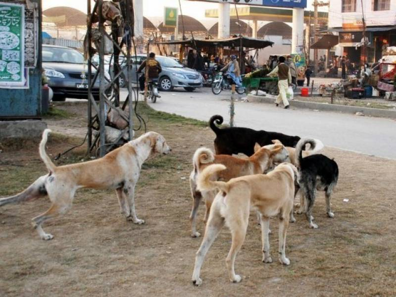 Dozens of stray dogs killed in Quetta on first day of culling campaign