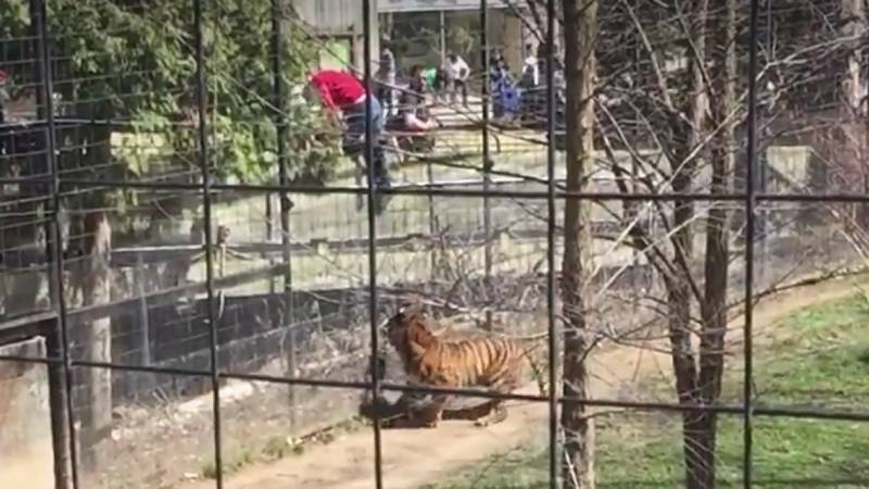 VIDEO: Woman jumps into tiger's fence in Toronto Zoo