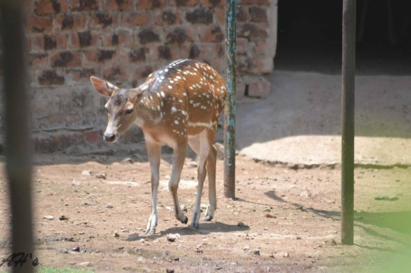 Oh, Dear! Rare deer found dead in Lahore Zoo, authorities blame