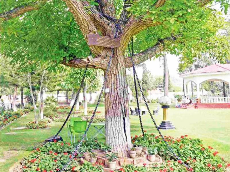 This tree has been under arrest for the past 118 years