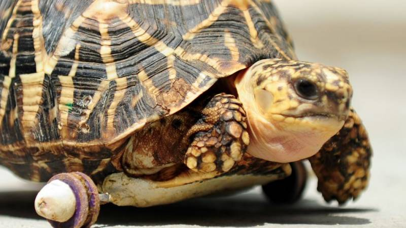 Tortoise who lost his legs in attack picks up speed after getting new wheels