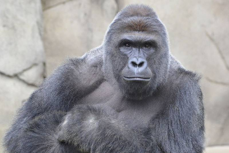 Not so bad after all: America's most hated pharma-bro wants to resurrect Harambe the Gorilla
