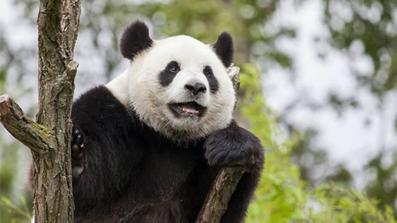 Giant pandas no longer an endangerd species; eastern gorrilla numbers decline