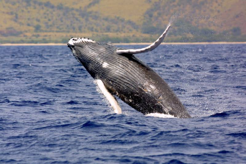 Humpback whales spotted off at Karachi coast