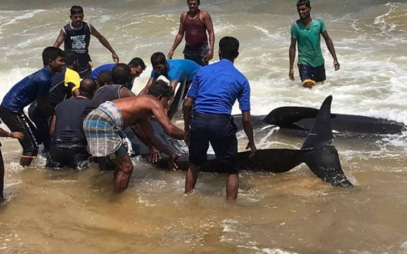 20 beached whales returned to sea by locals in Sri Lanka