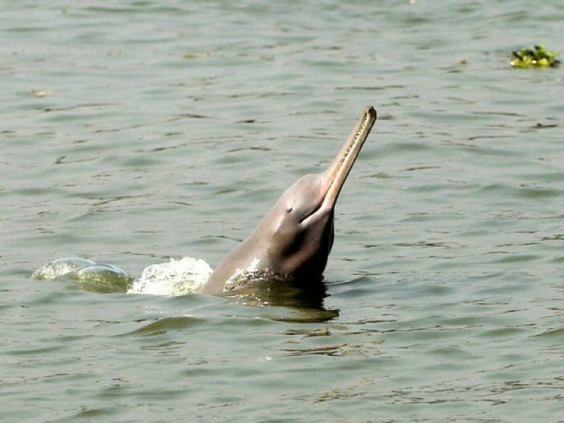 Is it a Sindhi tradition to rape Indus blind dolphins? Shocking claim spreads on Pakistani interwebs