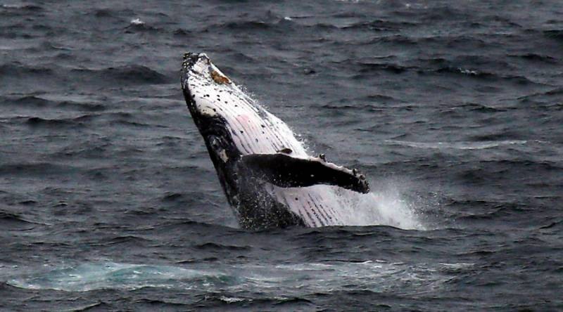 Humpback whale made a giant splash