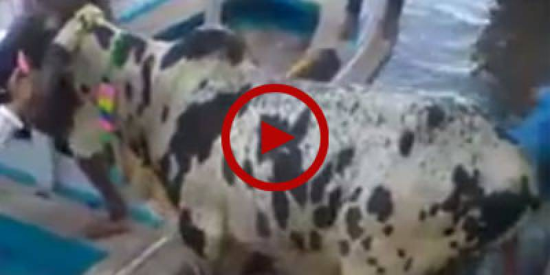 Cow jumps off ship while being shifted from port
