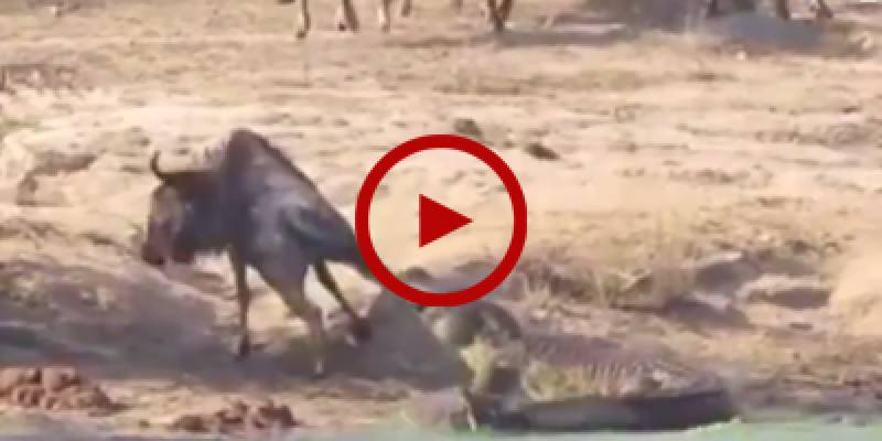 Daring hippo saves a bull from alligator