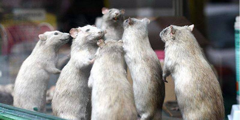 Grand operation in pipeline against 'battalion of rats' in Pakistan's Parliament