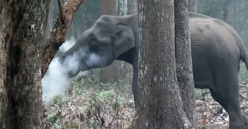 Elephant caught smoking in India, baffling scientists