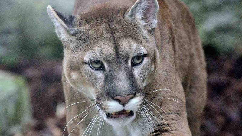 Cougar mauls US cyclist to death before being shot dead