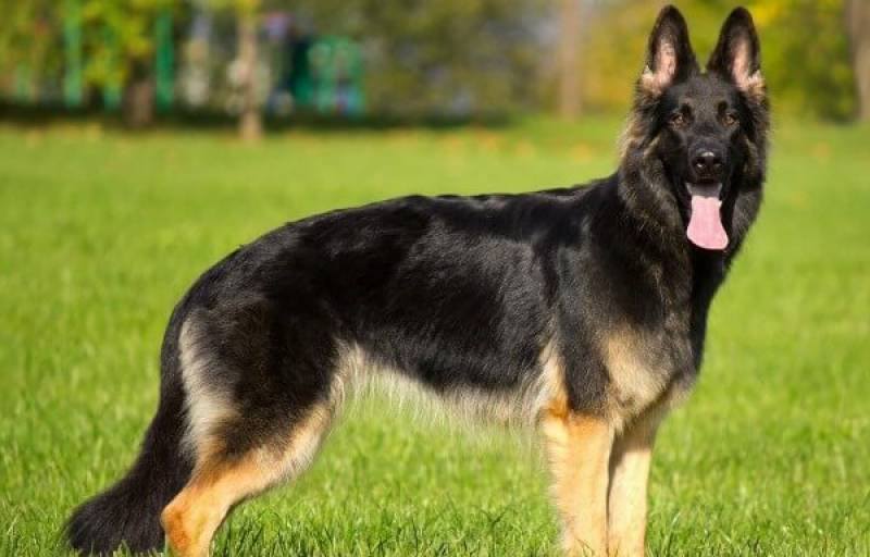 Man deprived of German Shepherd at gunpoint in Islamabad