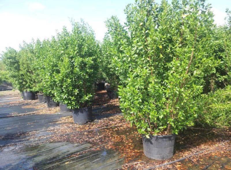 Mass plantation of Conocarpus in Karachi: green revolution or environmental crime?