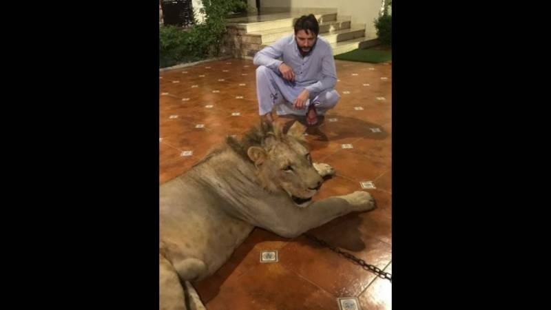 Shahid Afridi clarifies position for keeping chained-lion at home