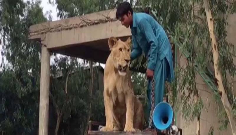 Maryam Nawaz's supporter walks lion around NA-127 amid election fever
