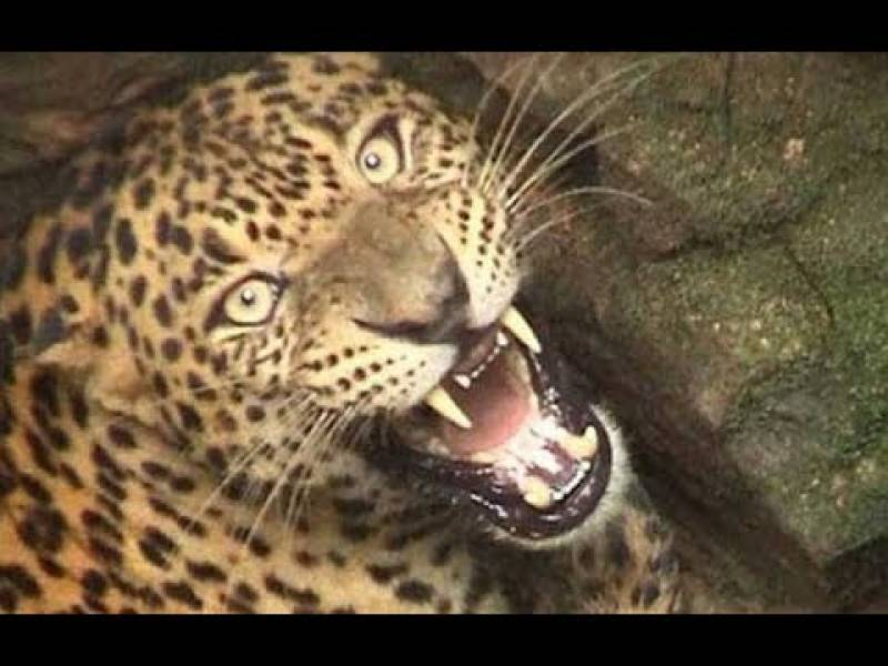 Leopard attack in Murree injures two youngsters
