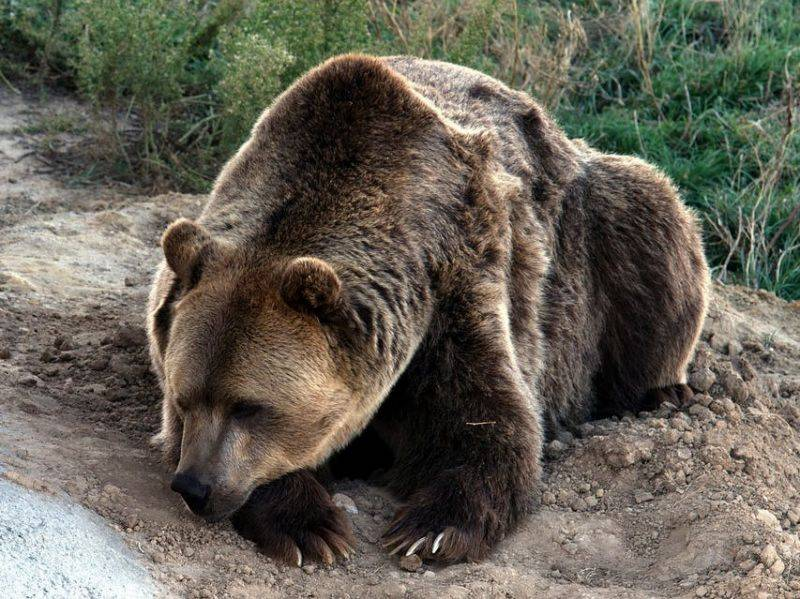 VIDEO: Outrage after Russian governor filmed shooting hibernating bear in the head