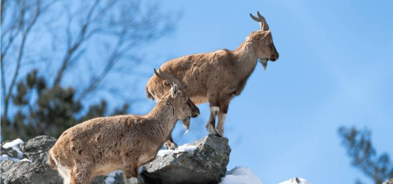 Ban on Markhor hunting in Chitral demanded