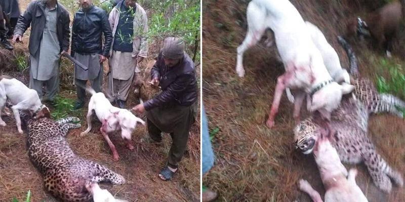 Villagers kill Amur leopard in Azad Kashmir