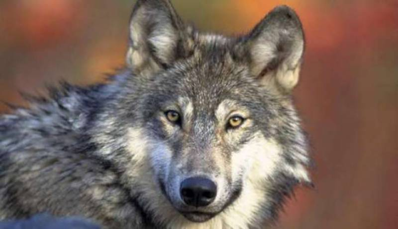 Tribals kill wolf of rare species in Pakistan's Sulaiman Range