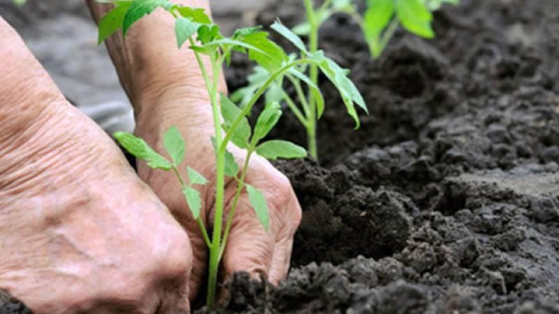 26,000 saplings being planted in Jhelum today
