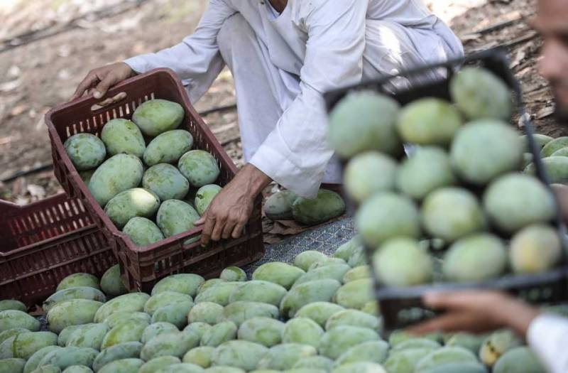 Pakistan plans to export 100,000 tons of mango to China in current fiscal year