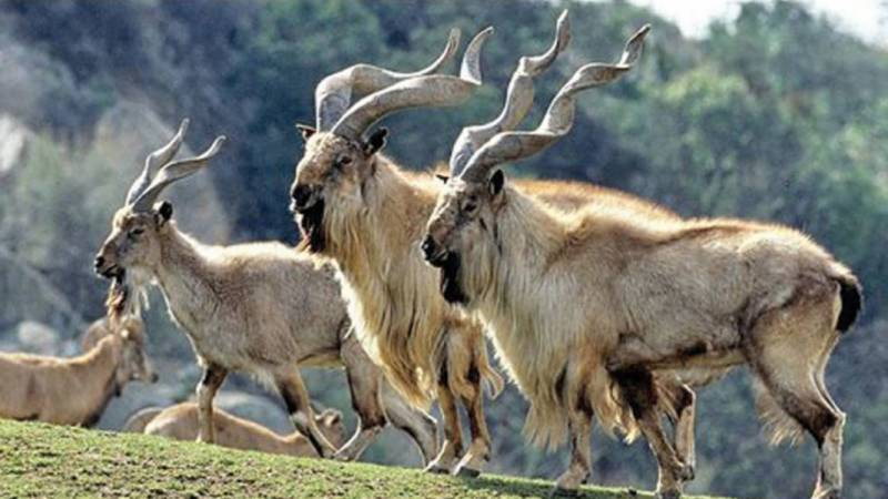Illegal Markhor trophy seized from Islamabad cafe