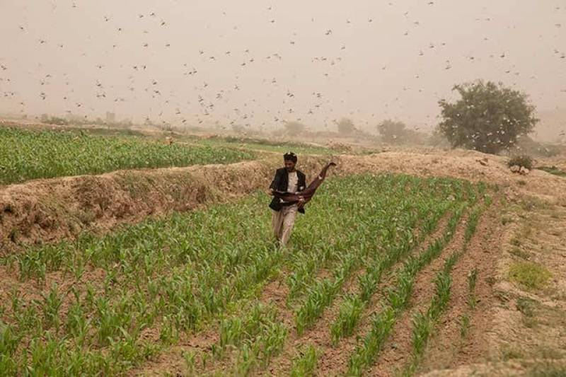 Pakistan's Kasur comes under locust swarms attack after 50 years