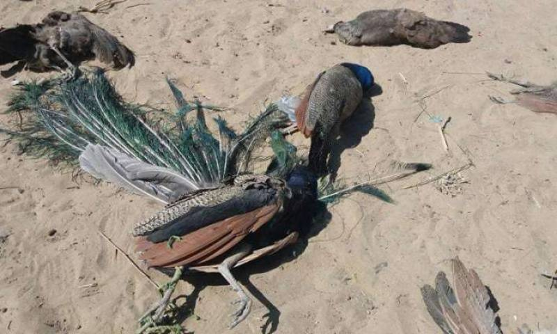 50 peacocks died in Tharparkar in one month