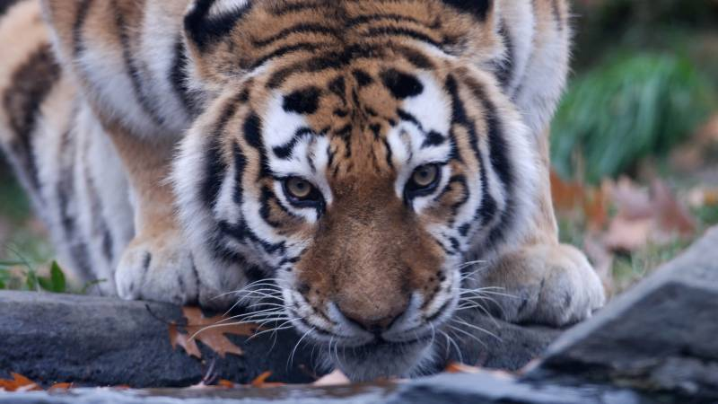 Coronavirus: Tiger tests positive for COVID-19 at New York zoo, first known case in the world