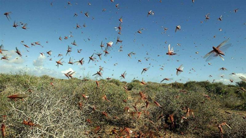 54 districts of Pakistan affected by locust attack: NDMA