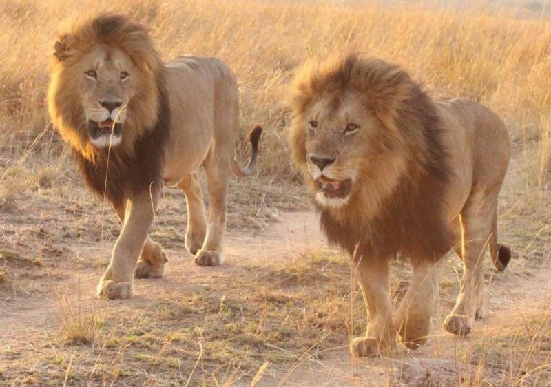 Lions recovered from a bathroom in Multan house