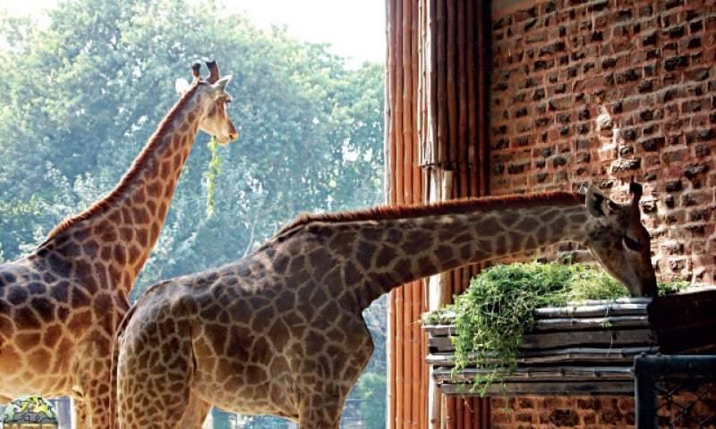 A dangerous virus just killed two giraffes at Peshawar Zoo