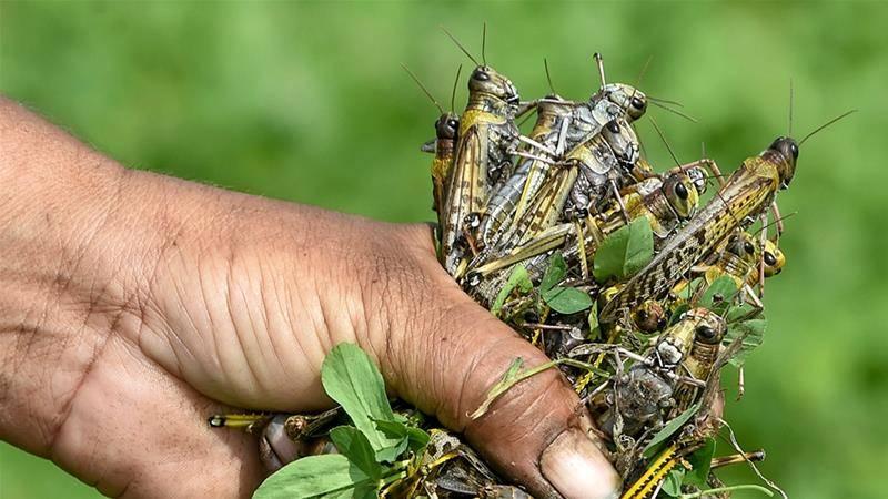 Nepal offers locust bounty as swarms hit crops in Pakistan