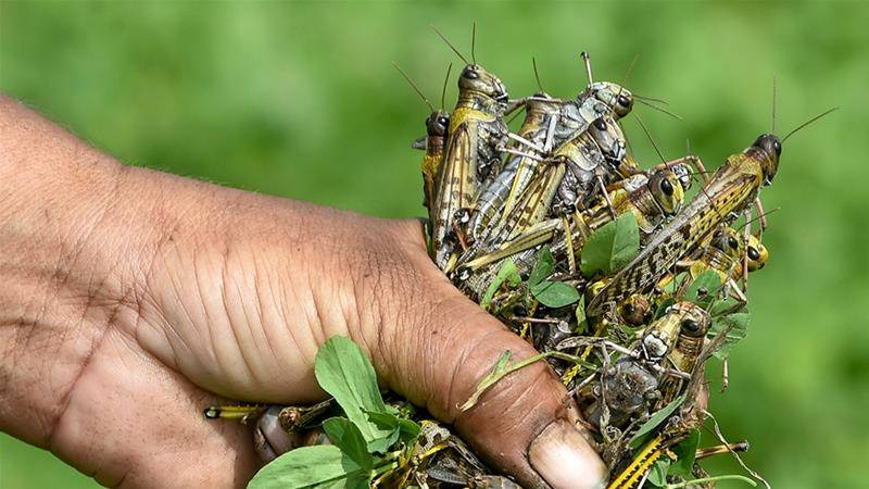Pakistan calls for international cooperation to counter locusts