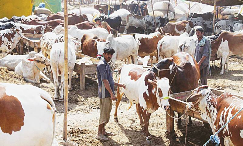 Govt gives go-ahead to setting up cattle markets